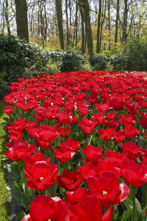 Beautiful red tulips against a background of green bushes and trees stock photos