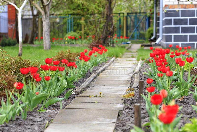 Red tulips bloom along the stone walkway near the rural house. Beautiful red tulips with dark green leaves in flowerbed near country rural house, retro vintage royalty free stock photography