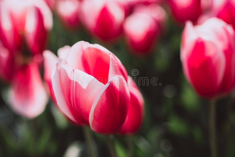 Beautiful red tulips, Darwin Hybrid Red Tulips in a flowerbed. Tulips bloom in spring royalty free stock photos