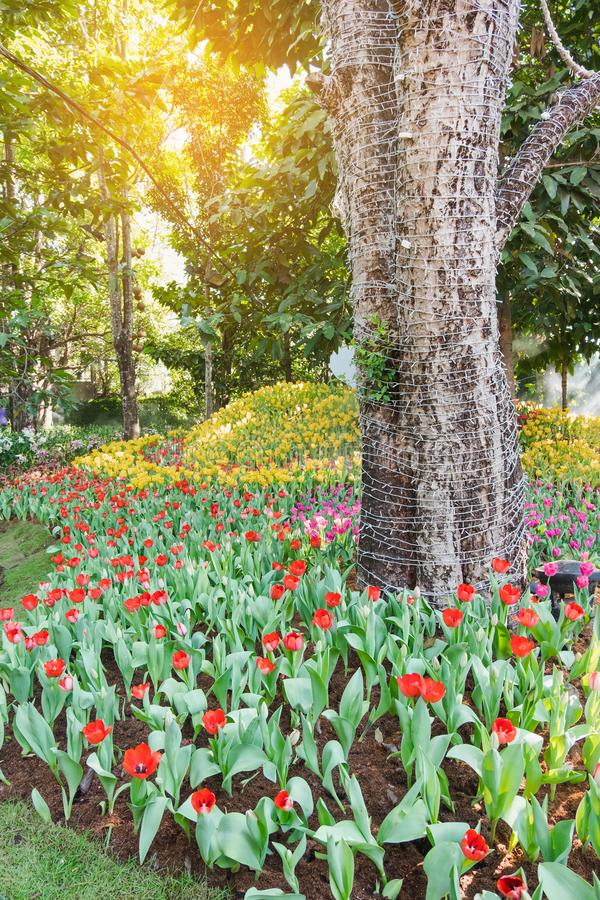 Beautiful red tulips in a floral garden . Select focus royalty free stock photo