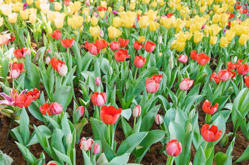 Beautiful red tulips in a floral garden . focus and. Beautiful red tulips in a floral garden . select focus stock photography
