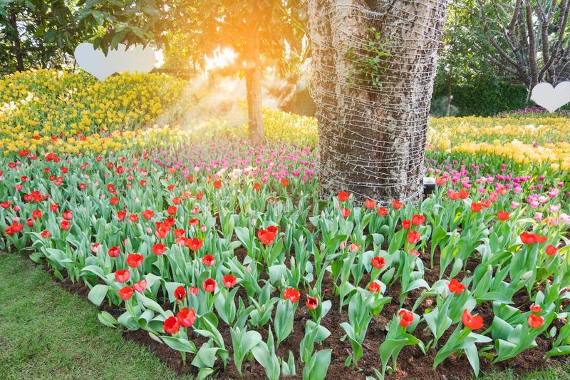Beautiful red tulips in a floral garden . Select focus and stock photos