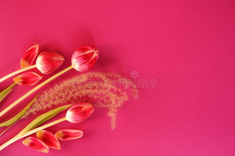 Red tulips leafs pink background. Beautiful red tulips leafs fluffy plant pink background top view tic fresh royalty free stock photography