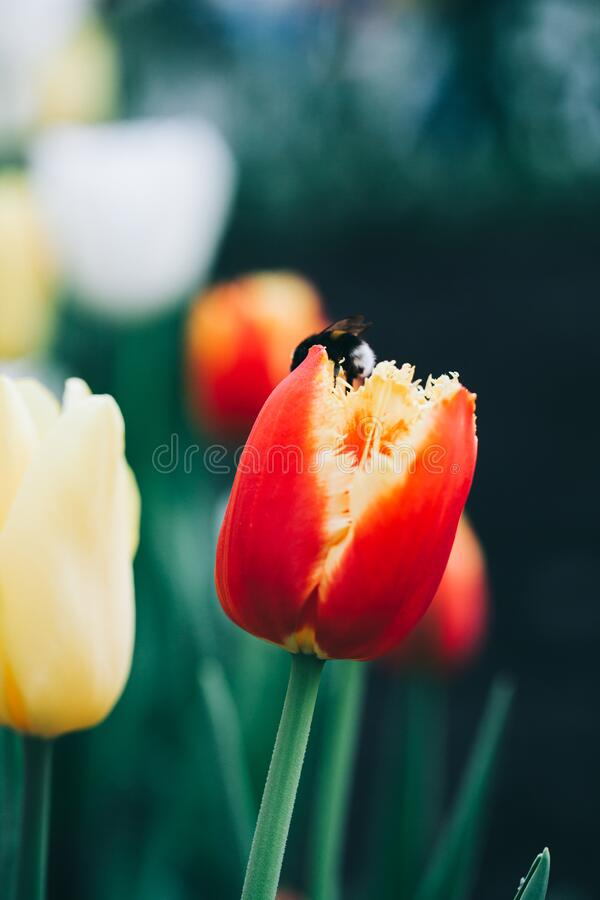 Free Beautiful Red Tulips. Vertical Abstract Background. Flower Background, Garden Flowers. Stock Photography - 171452882