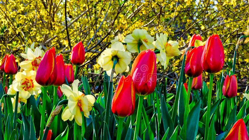Beautiful red tulips and yellow daffodils royalty free stock image