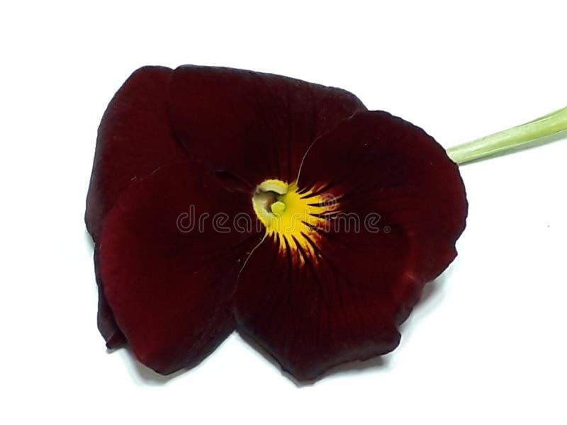 Beautiful red viola stock image