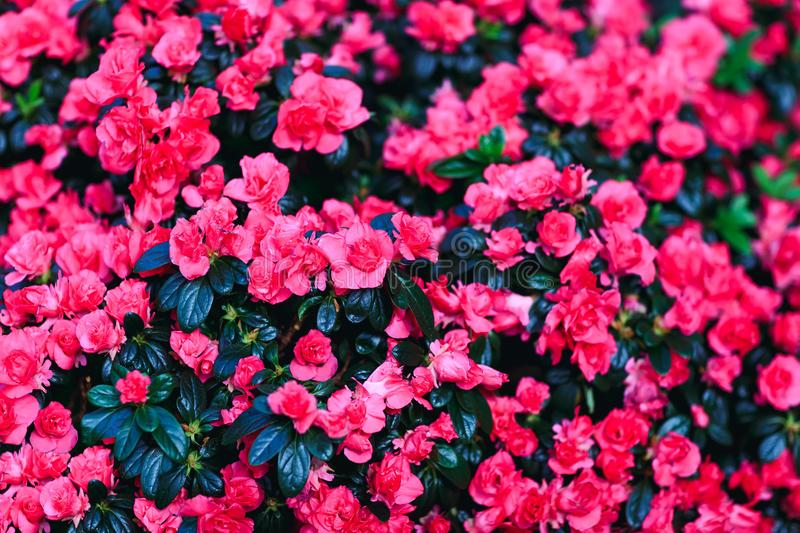 Beautiful red wax begonias flower background. Fresh begonia petals. stock photography