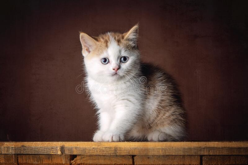 A beautiful red and white British Shorthair kitten stock photography