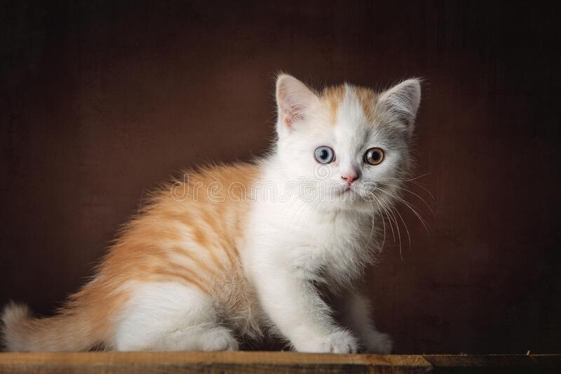 A beautiful red and white British Shorthair kitten stock image