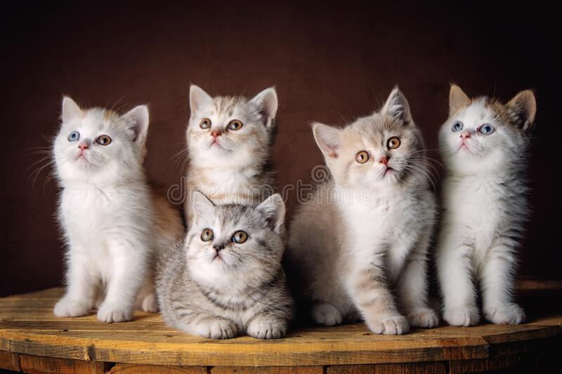 Beautiful five little British Shorthair kittens stock image