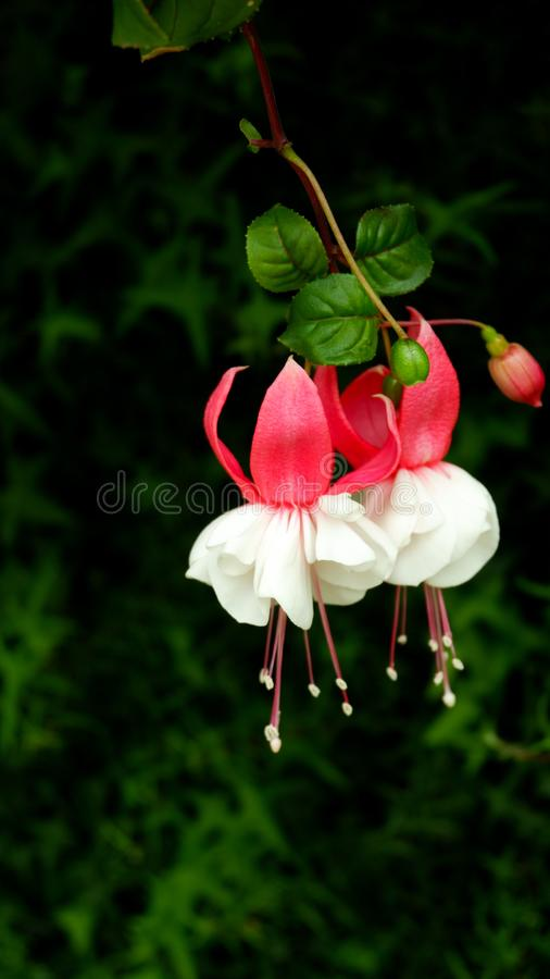 Beautiful red and white fuchsia flowers or angle earring flowers hanging on dark green leave background stock images