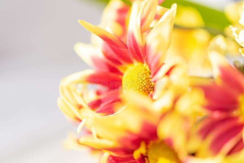 Beautiful red yellow fresh chrysanthemum flowers boquet on white royalty free stock image