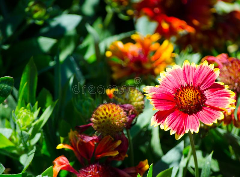 Beautiful red-yellow gaillardia or blanket flowers at a botanical garden. A beautiful red-yellow gaillardia or blanket flowers at a botanical garden royalty free stock photo