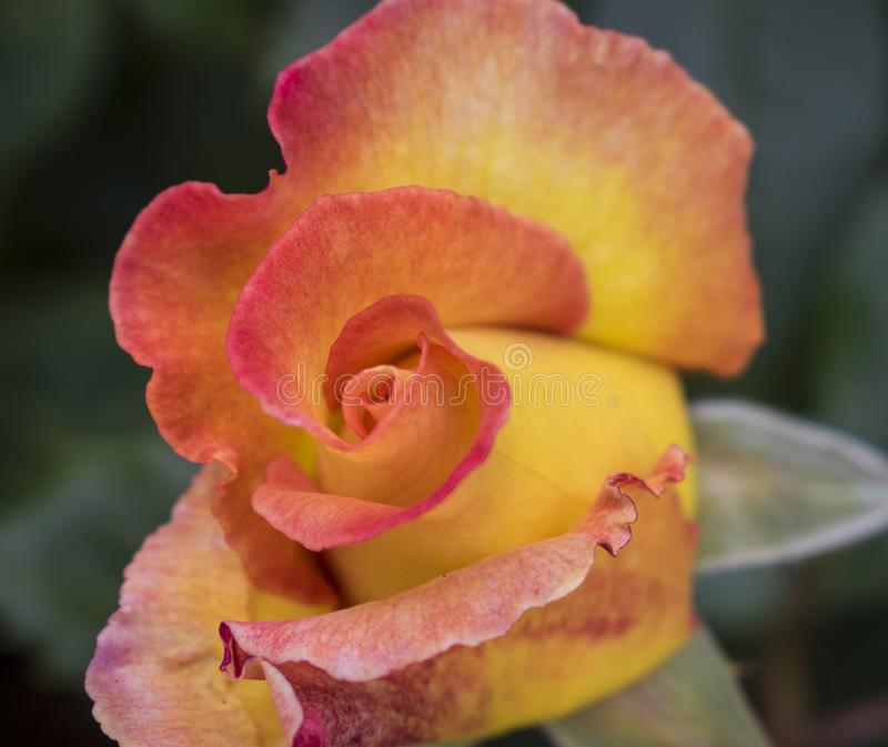 Beautiful red and yellow rose bud just about to unfold stock photos