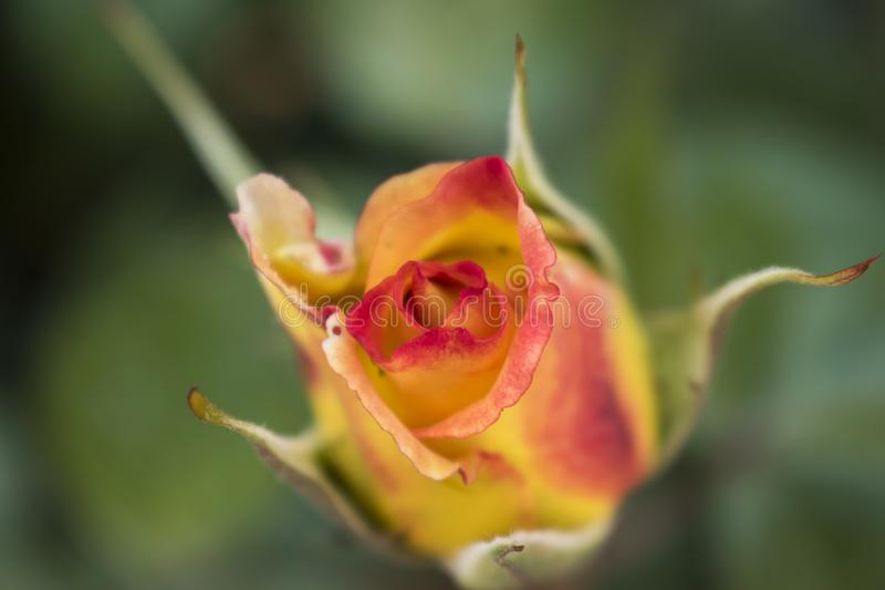 Beautiful red and yellow rose bud just about to unfold stock photo