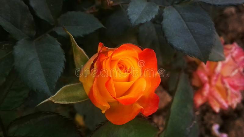 Beautiful Red-Yellow Rose. Beautiful Red Yellow Rose Click During Sunsets royalty free stock image