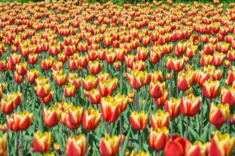 Beautiful red and yellow tulips royalty free stock photos