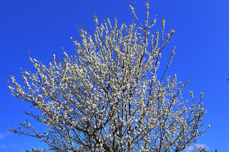 Beautiful red yellow and white blooming trees in front of a blue sky seen in germany. Beautiful red yellow and white blooming trees in front of a blue sky seen royalty free stock images