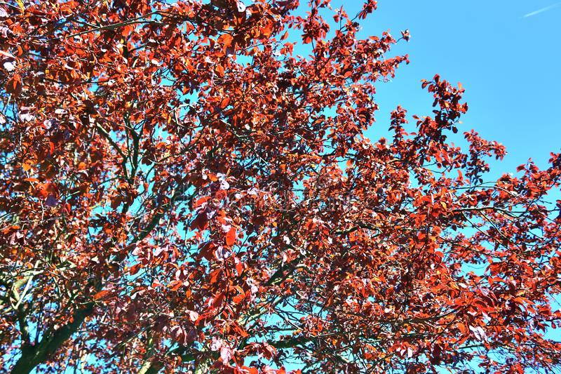 Beautiful red yellow and white blooming trees in front of a blue sky seen in germany. Beautiful red yellow and white blooming trees in front of a blue sky seen royalty free stock photography