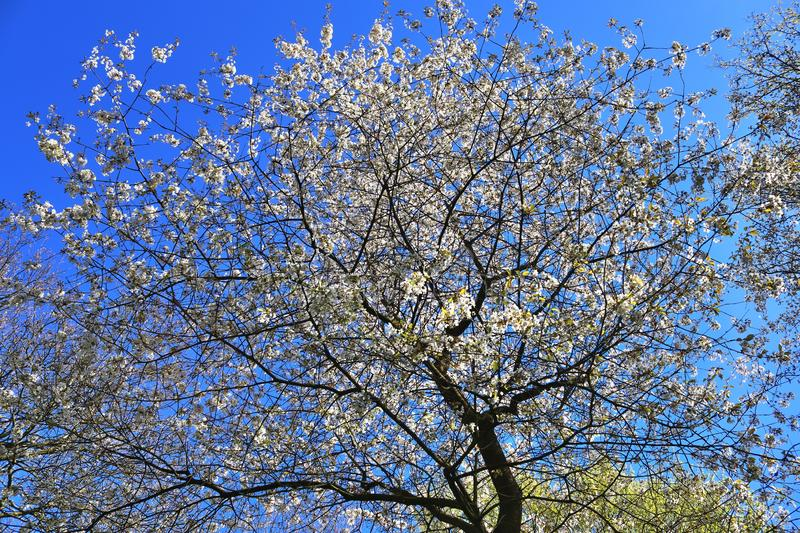 Beautiful red yellow and white blooming trees in front of a blue sky seen in germany. Beautiful red yellow and white blooming trees in front of a blue sky seen royalty free stock photos