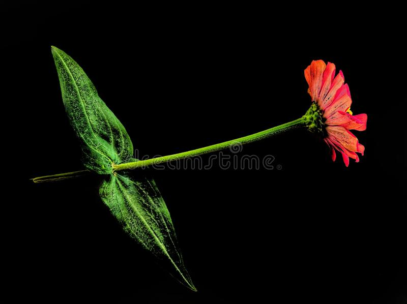 Red Zinnia flower. Beautiful Red Zinnia flower isolated on black background. Nature background royalty free stock images