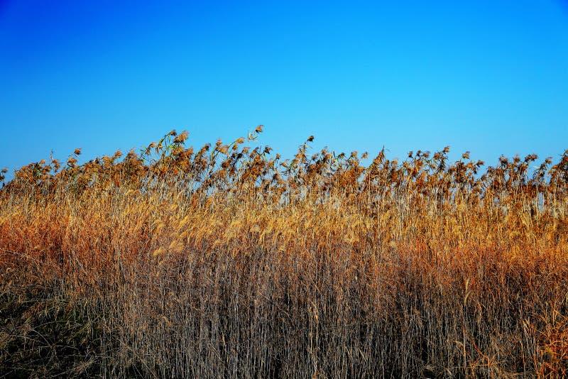 Beautiful reeds and blue sky. Photo taken at the Dongting Lakeside , yueyang city , hunan , china royalty free stock image