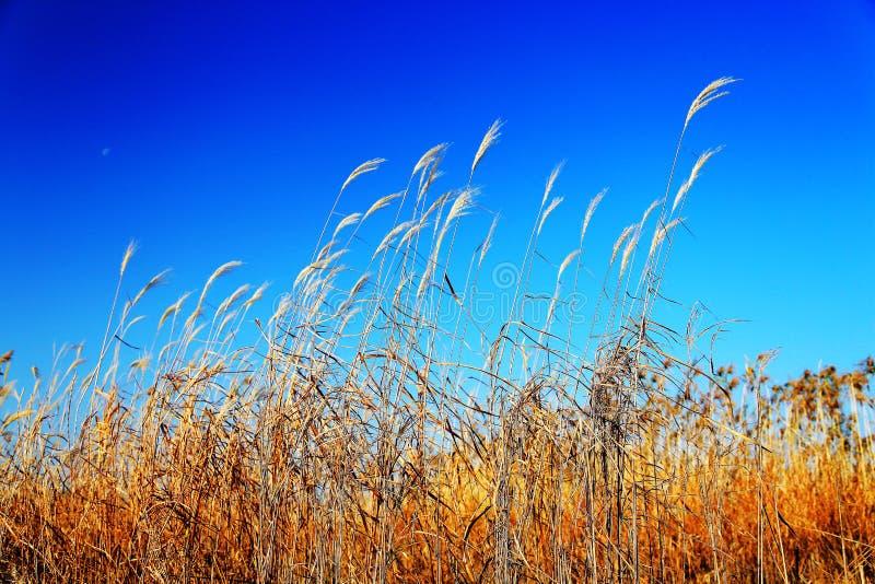 Beautiful reeds and blue sky. Photo taken at the Dongting Lakeside , yueyang city , hunan , china stock photo
