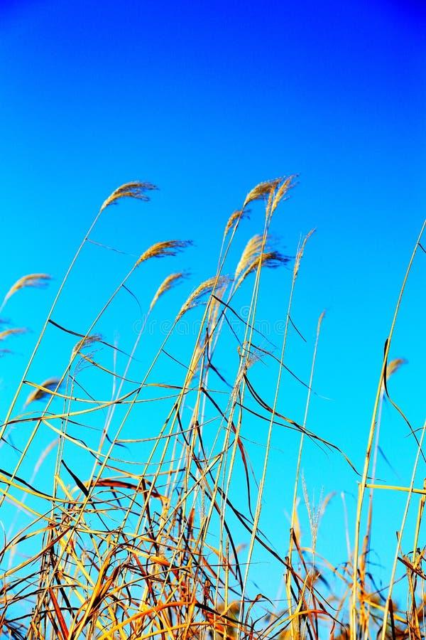 Beautiful reeds and blue sky. Photo taken at the Dongting Lakeside , yueyang city , hunan , china stock photos