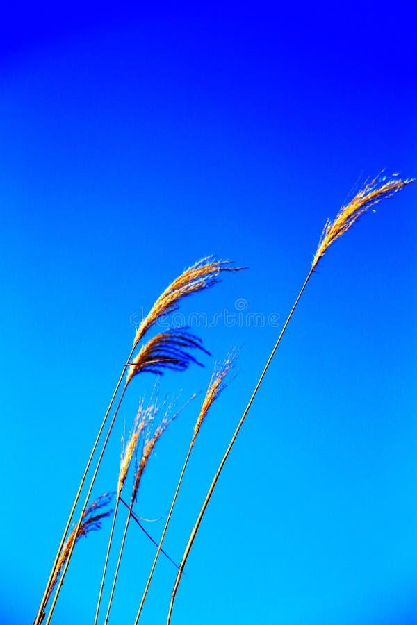 Beautiful reeds and blue sky. Photo taken at the Dongting Lakeside , yueyang city , hunan , china royalty free stock photos