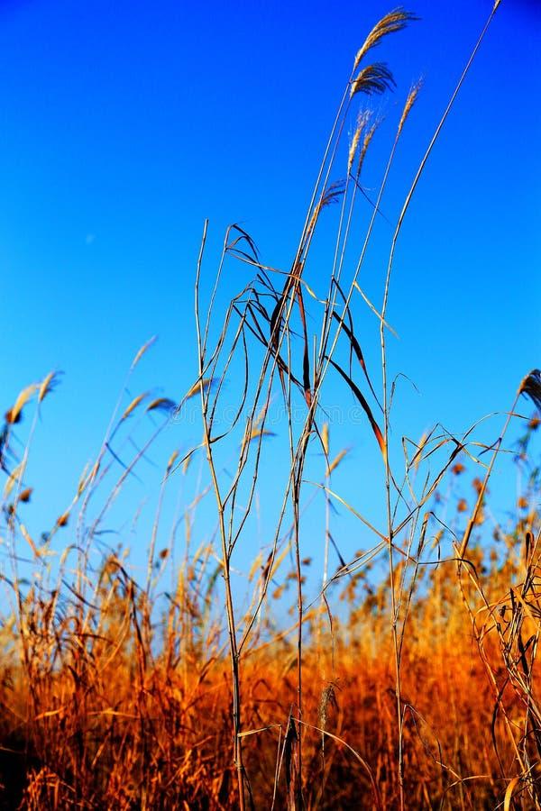 Beautiful reeds and blue sky. Photo taken at the Dongting Lakeside , yueyang city , hunan , china stock image