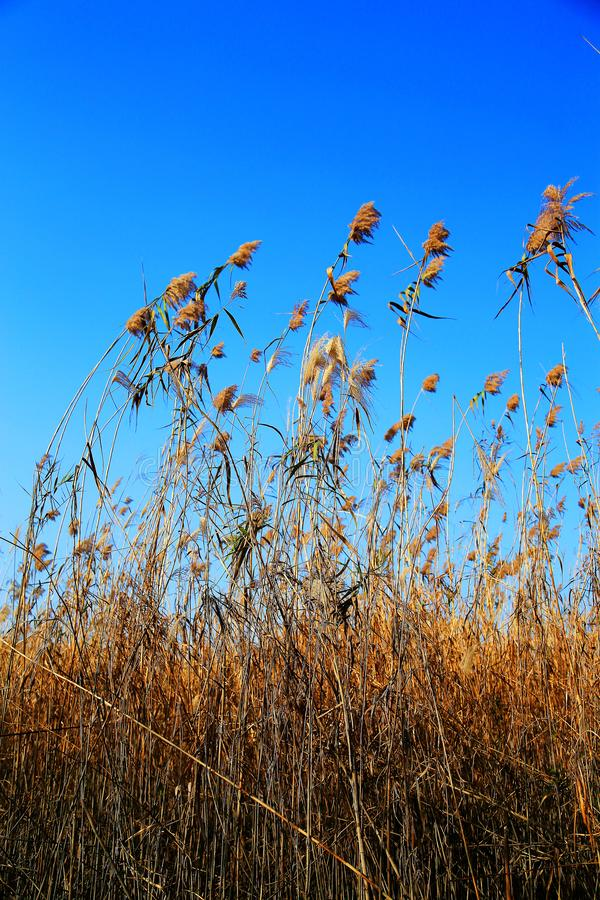 Beautiful reeds and blue sky. Photo taken at the Dongting Lakeside , yueyang city , hunan , china stock photography
