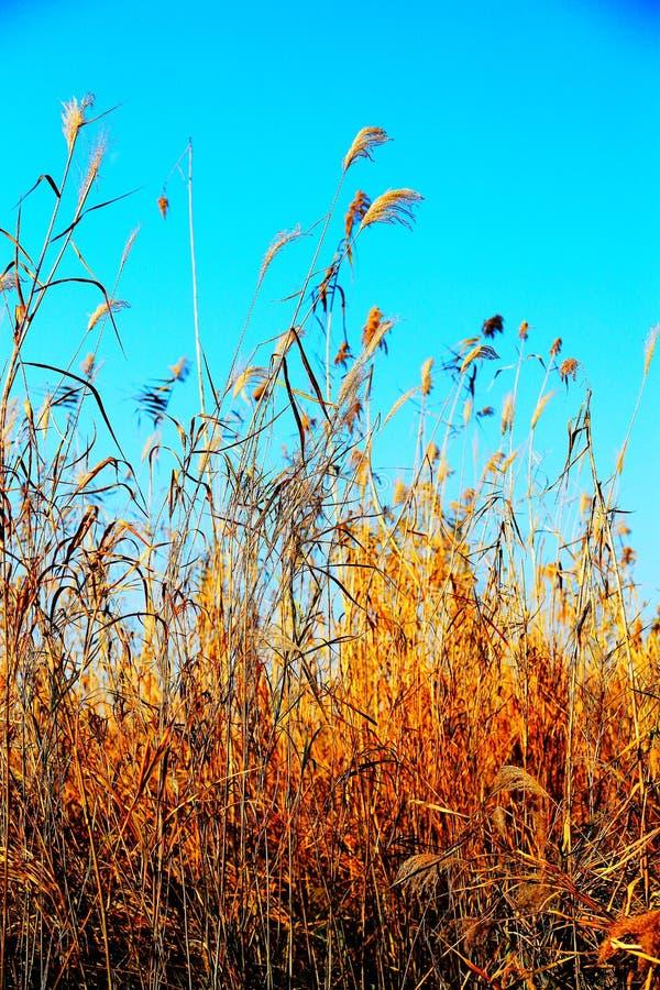 Beautiful reeds and blue sky. Photo taken at the Dongting Lakeside , yueyang city , hunan , china royalty free stock photography