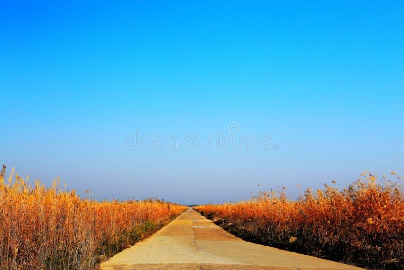 Beautiful reeds and blue sky. Photo taken at the Dongting Lakeside , yueyang city , hunan , china stock images