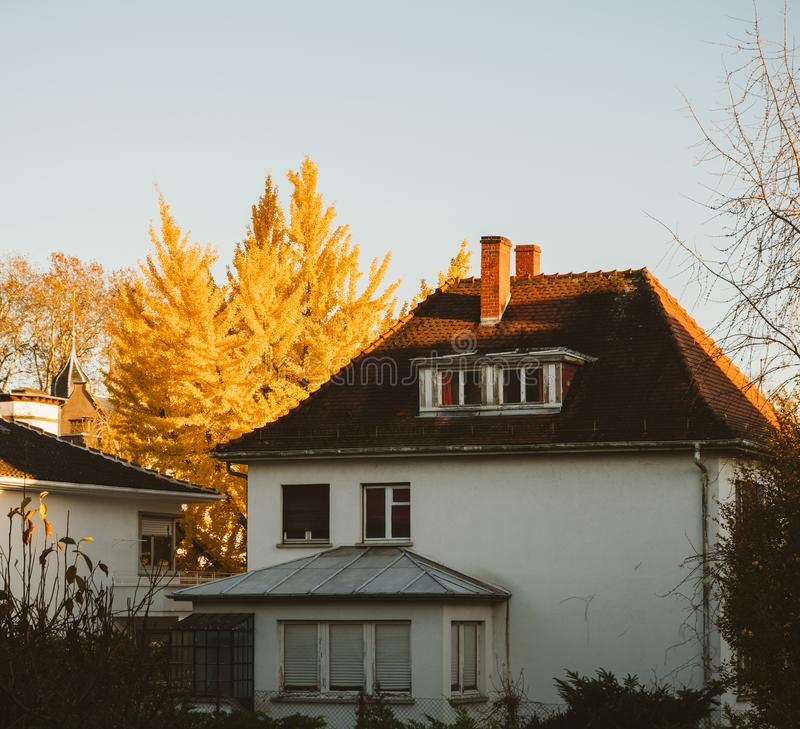 Gingko biloba tree fall house sunlight royalty free stock photos
