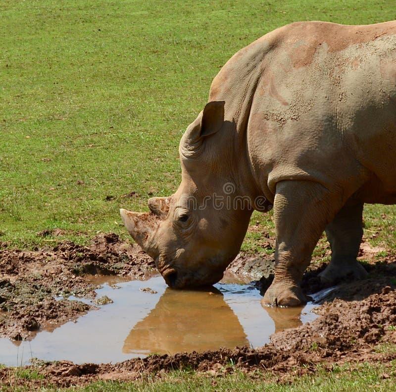 Beautiful rhino drinking water royalty free stock photo