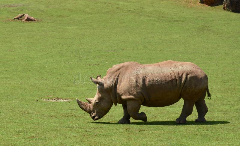 Beautiful rhino in nature stock photos