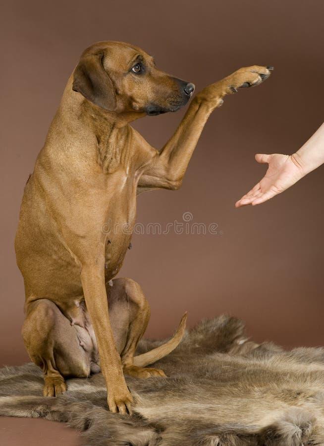 Dog giving paw to human stock photo