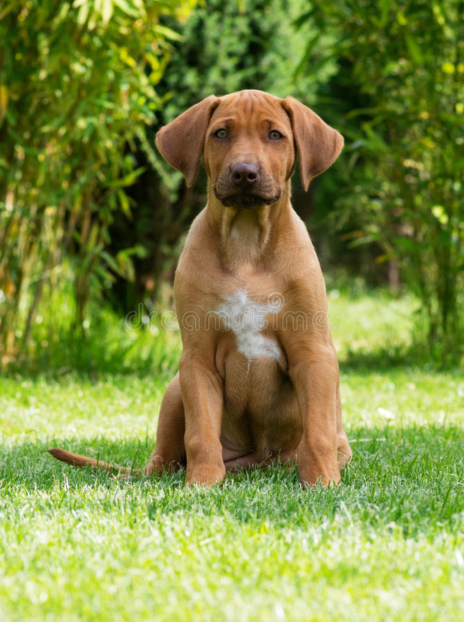 Beautiful Rhodesian Ridgeback puppy royalty free stock images
