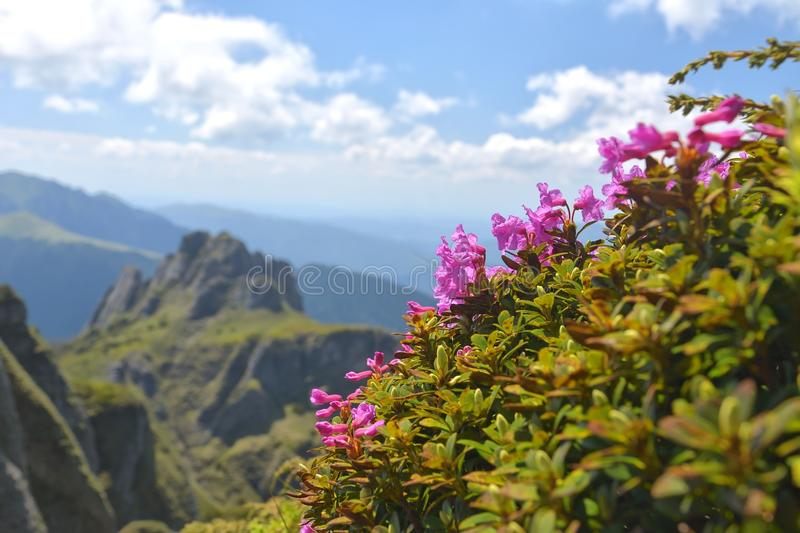 Beautiful rhododendron flowers and spring landscape in Ciucas mountains,Romania. royalty free stock images