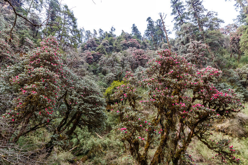 Beautiful rhododendron forest stock image
