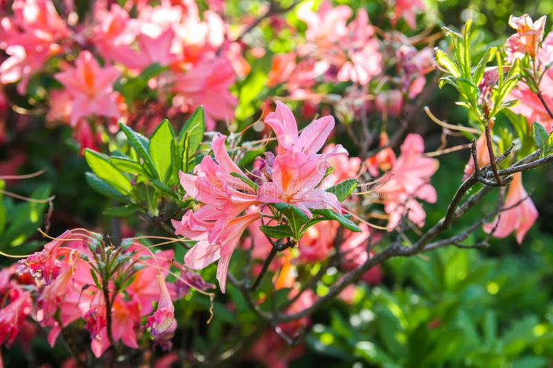 Rhododendron plants in bloom in spring park. Beautiful Rhododendron plants in bloom in spring park royalty free stock photo