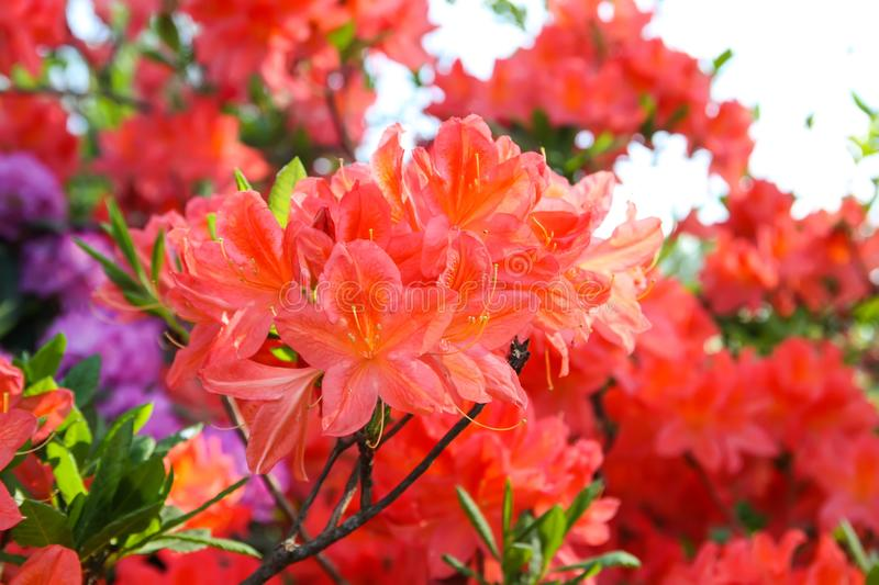 Rhododendron plants in bloom in spring park. Beautiful Rhododendron plants in bloom in spring park stock photography