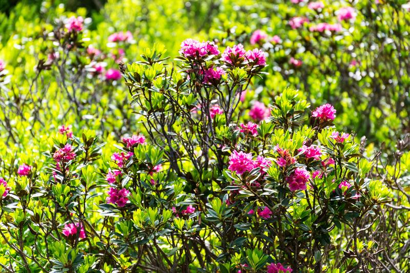 Beautiful rhododendron wildflowers on Alps mountains hillside, Austria, peaceful meditation royalty free stock photos