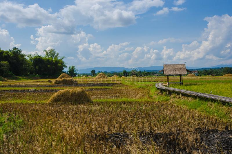 Beautiful rice field with pavilion in harvesting season in Thailand. Beautiful rice field with pavilion and white clouds in blue sky background in harvesting stock photos