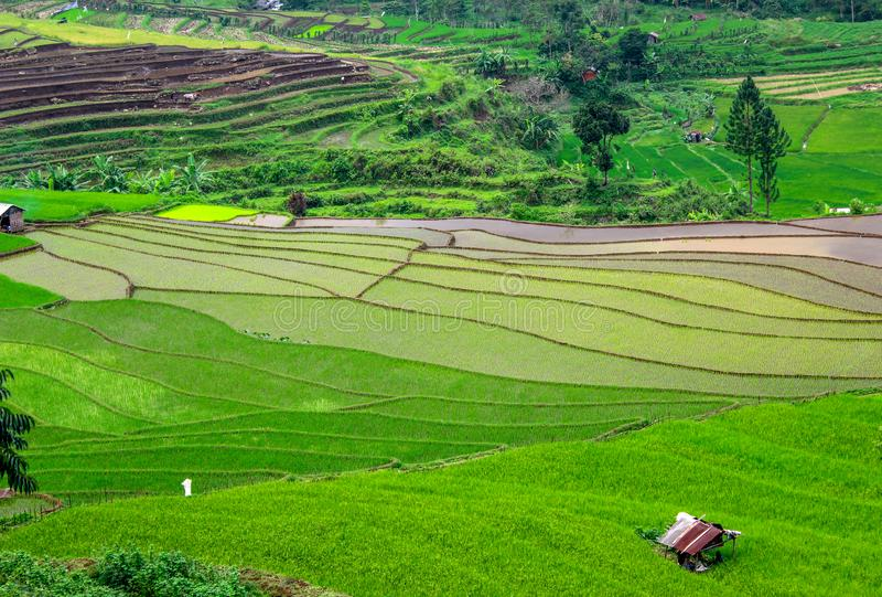 Beautiful rice fields, Tegal regency, indonesia. The view of the rice fields is so beautiful, fresh and cool seen during the planting season, tegal district royalty free stock photos