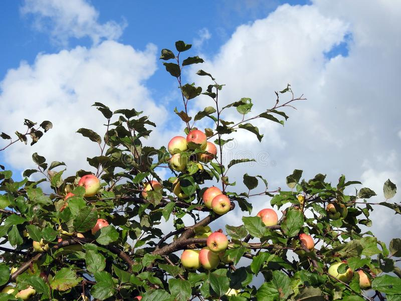 Apples hanging on tree branches stock images