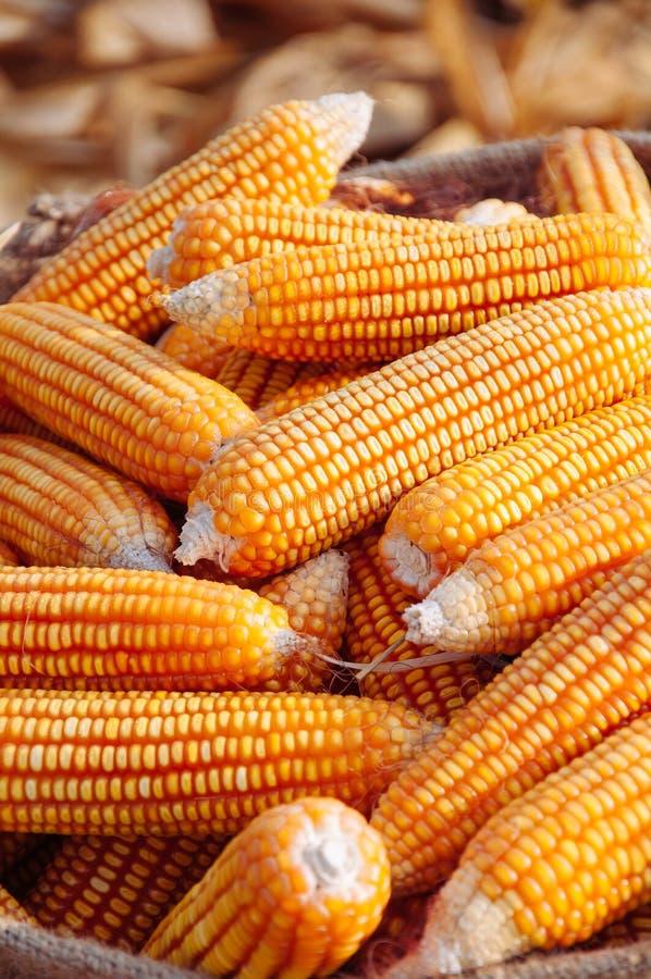 Ripe yellow corn in sack on dry husk Rural farm natural organic royalty free stock photography