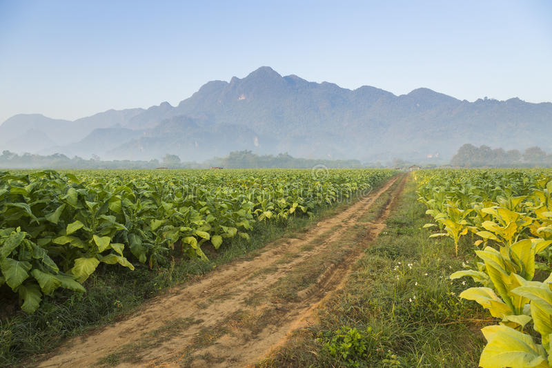 Beautiful road in the tobacco fields with mountain royalty free stock photo
