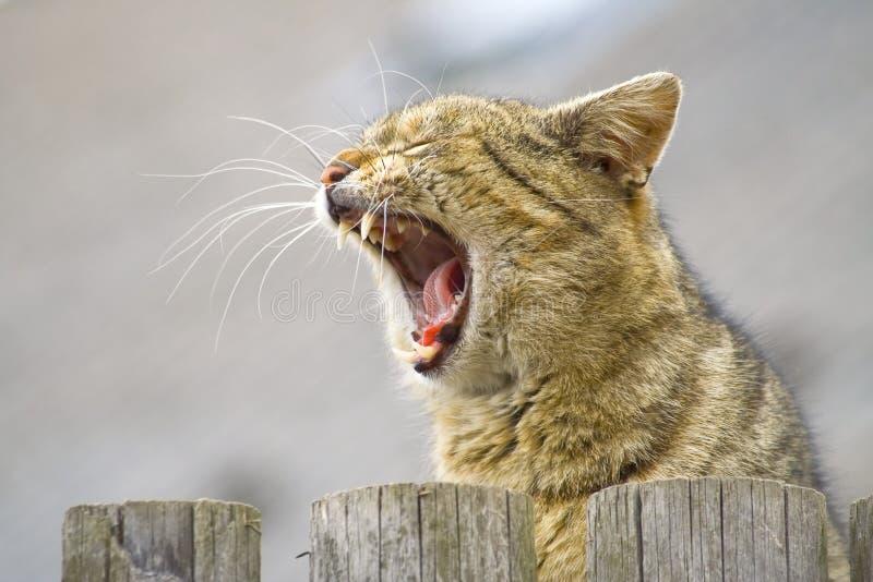Beautiful roaring Cat royalty free stock photo