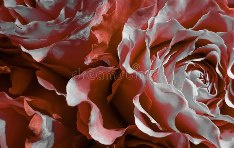 Beautiful romantic rose petals flower background stock image